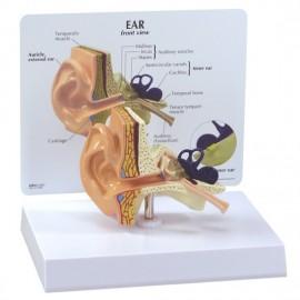 Life-size Ear Model