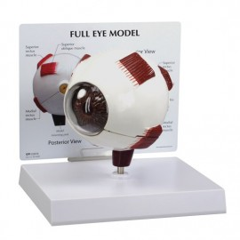 Full Eye Model - opens up into 2 halves