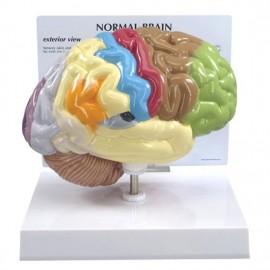 Half Brain Model - Sensory and Motor areas