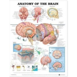 Anatomy of the Brain Chart