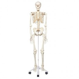 Human Skeleton Model - Stan - on pelvic mounted 5 foot roller stand