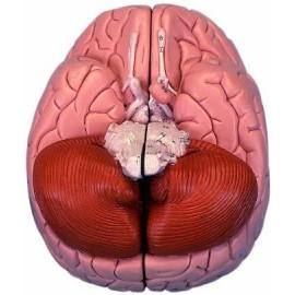 Brain Model, 2 part
