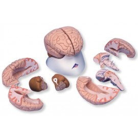Brain Model, 8 part