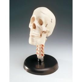 Budget Skull with Cervical Vertebrae