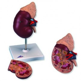 Kidney with Adrenal Gland, 2 part